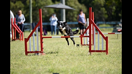 Dog Jumping - Agility - Craig A Murray