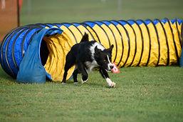 Dog going through tunnel - Craig A. Murray Dogschool