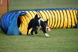Dog going through tunnel - Craig A. Murray Dogschool