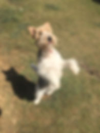 Dog doing Tricks