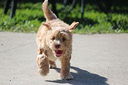 Noodle - Poodle Puppy - Puppy School Ipswich
