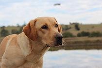 Craig A. Murray Phylloxera Detection Dog