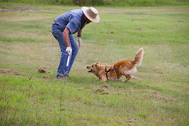 Fire Ant Detection Dog - Craig A. Murray Working
