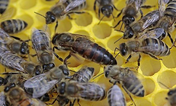bees-1163028.jpg