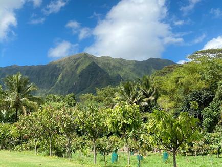 National Chocolate Day: Visiting a Hawaii Cacao Farm