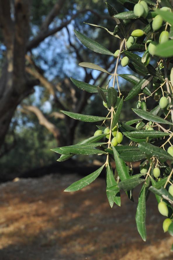 Aceite de oliva, elixir de belleza, rejuvenecedor, curativo y longevidad