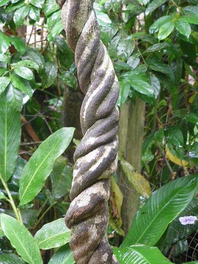Ayahuasca brew, chacruna, peruvian amazon, natural medicine, medicinal plants, ayahuasca retreats