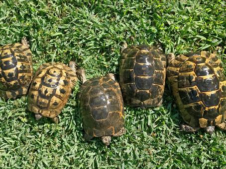 Recognizing the Greek Tortoises
