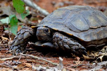 Asian forest tortoise (Manouria emys emys)