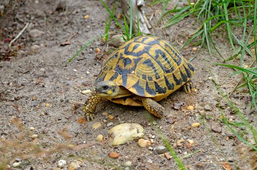 Western Hermann's tortoise (Testudo hermanni hermanni)