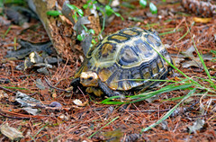Home's hingeback tortoise (Kinixys homeana)