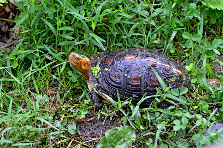 Chinese box turtle (Cuora flavomarginata flavomarginata)