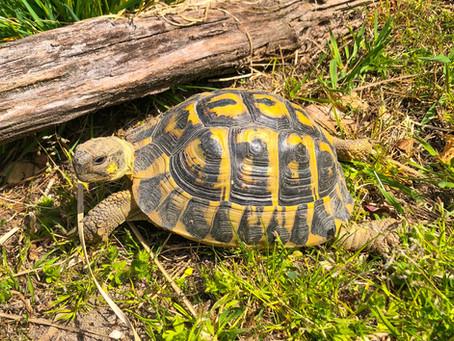 Hermann's Tortoise-World Turtle Day 2021