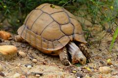 Egyptian tortoise (Testudo kleinmanni)