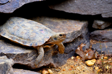 Pancake tortoise (Malacochersus tornieri)