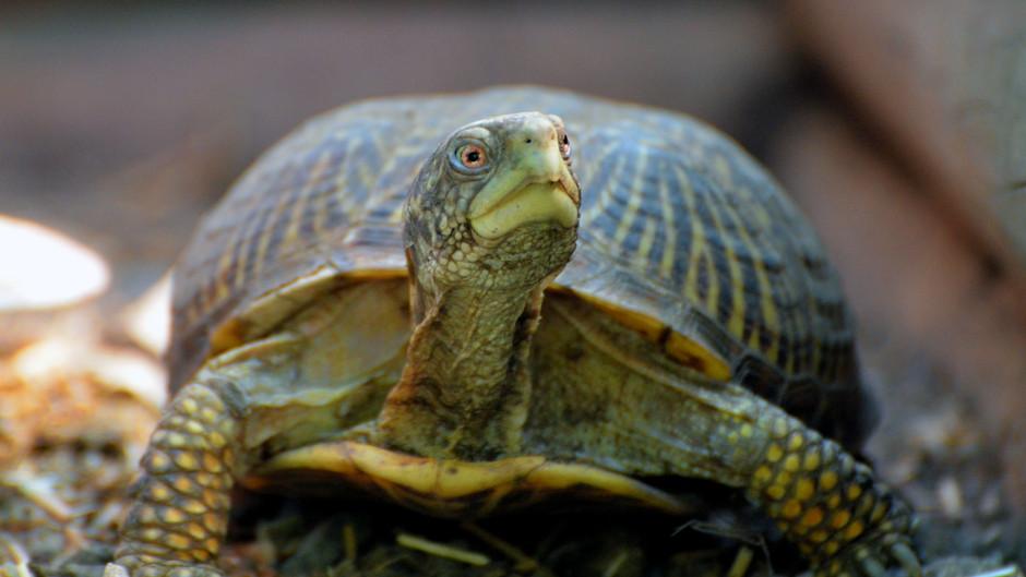 Protecting Turtles & Tortoises From Predators
