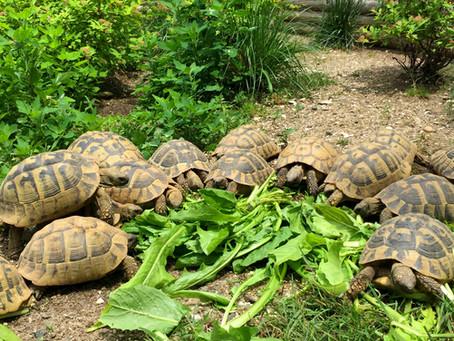 Tortoise Diet (Testudo Species)