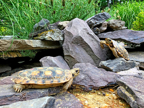 Female pancake tortoises basking in earl