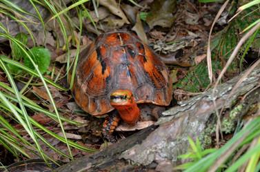 Bourret's box turtle (Cuora bourreti)