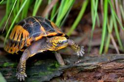 Indochinese box turtle (Cuora galbinifrons)
