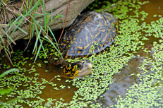 Florida box turtle (Terrapene carolina bauri)