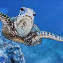 Cruising Turtle_76x51_13.jpg