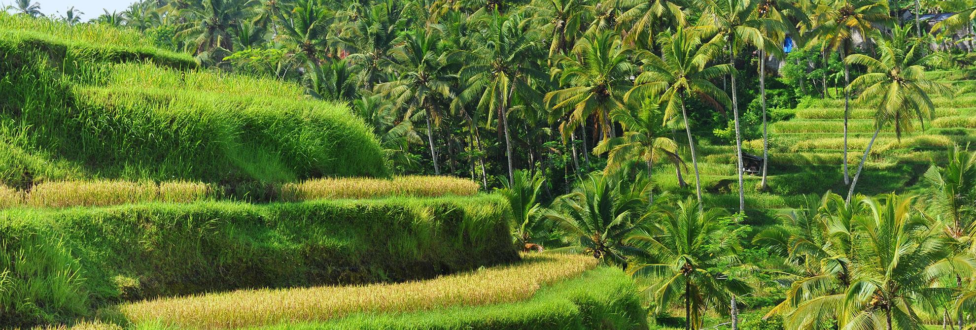 Champ de rizières