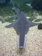 sawfish.JPG