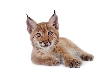 Eurasian Lynx cub on white.jpg