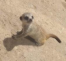 meerkat baby.jpg