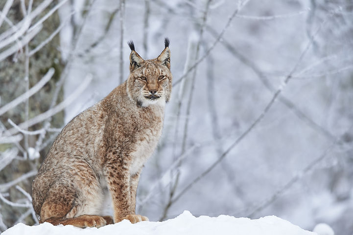 A eurasian lynx in winter.jpg