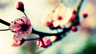 Beautiful-Japanese-Cherry-Blossom-Season