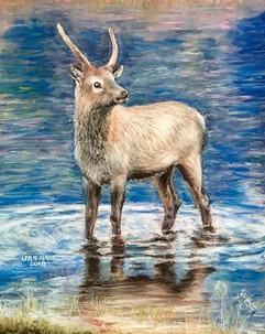 """""""Young Colorado Buck Elk"""""""
