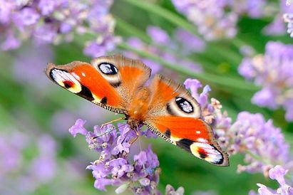 peacock-butterfly-3482707_1920.jpg