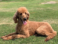 red poodle for sale.jpg