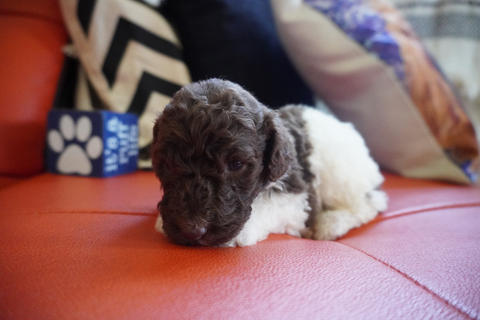 brown white male poodle