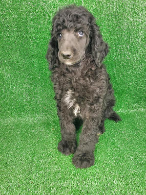 Standard Poodle Black Abstract