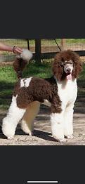 Antigua Standard Poodles