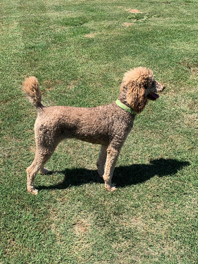 Stilly: Female AKC Standard Poodle