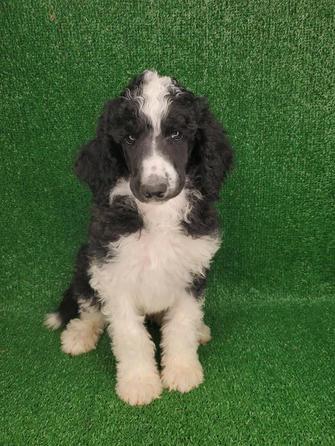 Male Standard Poodle Tuxedo