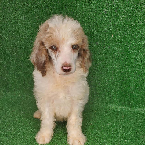 Poodle Puppy for Sale Near Me