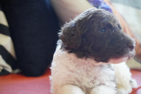 gorgeous male poodle for sale