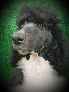 standard%20male%20poodle%20for%20sale%20