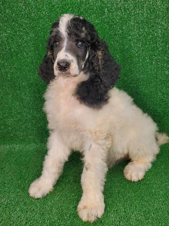 Male Standard Poodle Tri Colored