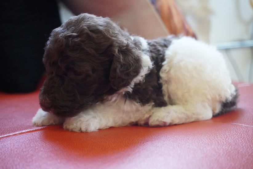 poodle for sale near me