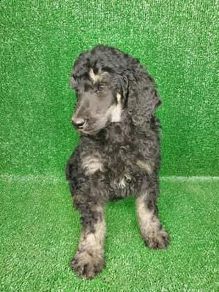 Male Standard Poodle Black/Brown Phantom