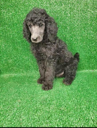 Male Standard Silver Poodle