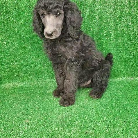 Male Standard Silver Poodle