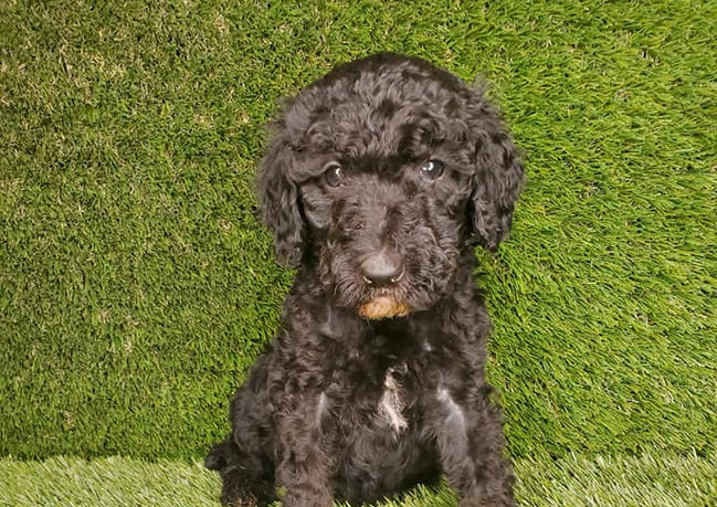 poodle abstract male.jpg