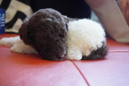 Male Poodle Puppy